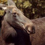 Recette de nez d'orignal en gelée: une délicatesse canadienne
