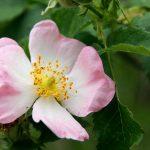 La rose musquée est bien plus qu'une fleur, même en cuisine